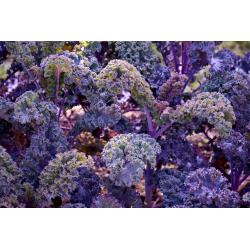 Graines de Chou Kale Scarlet