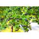 Graines de Aronia prunifolia