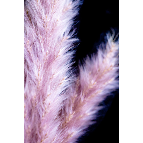 Graines de Cortaderia selloana Pink