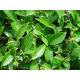 Graines de Camellia sinensis Assamica