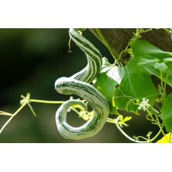 Graines de Courge serpent