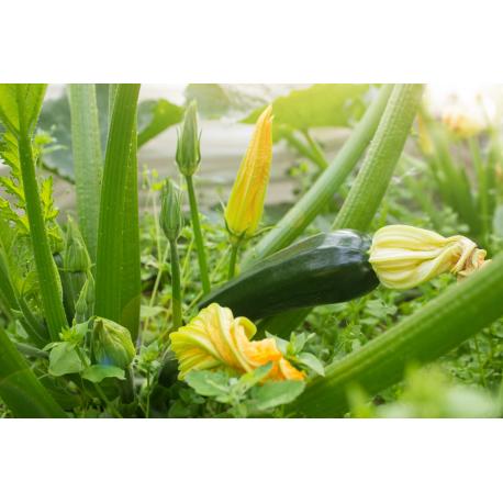 Graines de Courgette Black beauty