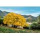 Graines de Acer monspessulanum