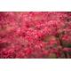 Graines de Acer shirasawanum Palmatifolium