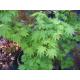 Graines de Acer sieboldianum Sode-No-Uchi