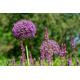 Graines de Allium christophii