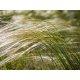 Graines de Stipa tenuissima