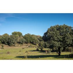 Graines de Quercus ilex