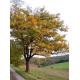 Graines de Sorbus domestica