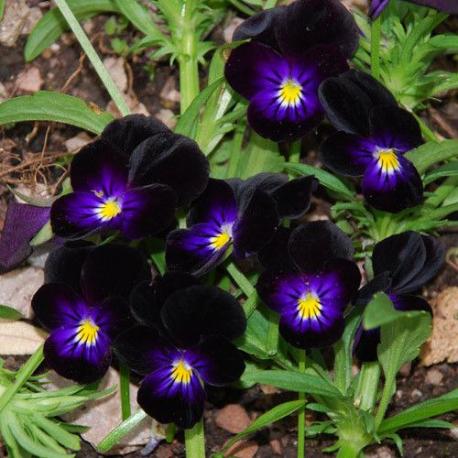 Graines de Viola cornuta Bowles Black