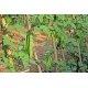 Graines de Psophocarpus tetragonolobus