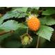 Graines de Rubus spectabilis