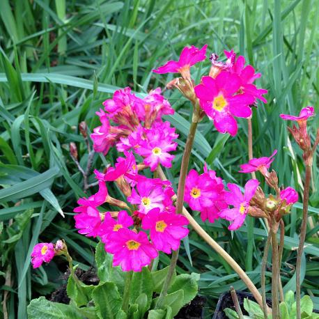 Graines de Primula rosea Gigas