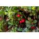 Graines de Arctostaphylos uva-ursi
