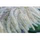 Graines de Aruncus sinensis