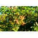 Graines de Cardiospermum halicacabum
