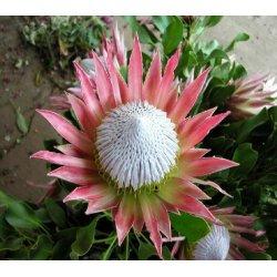 Graines de Protea cynaroides