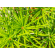 Graines de Sciadopitys verticillata