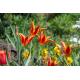 Graines de Tulipa sprengeri