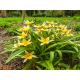Graines de Tulipa tarda
