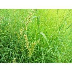 Graines de Cymbopogon martinii Motia