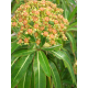 Graines de Euphorbia mellifera