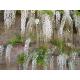 Graines de Wisteria floribunda Alba