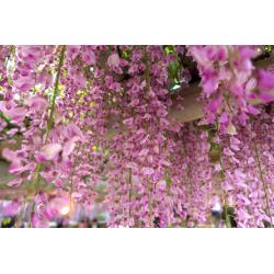 Graines de Wisteria floribunda Rosea