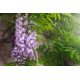 Graines de Wisteria floribunda Macrobotrys