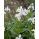 Graines de Iris magnifica
