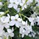 Graines de Tabac Grandiflora White