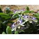 Graines de Passiflora caerulea