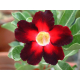 Graines de Adenium Apollo