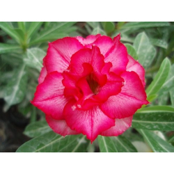 Graines de Adenium Rouge Blush