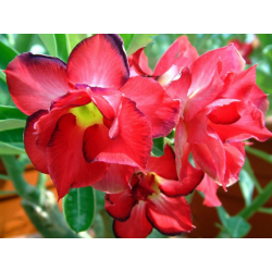 Graines de Adenium Double Rouge