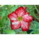 Graines de Adenium Fleur des Fleurs