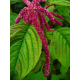 Graines de Amaranthus caudatus rouge