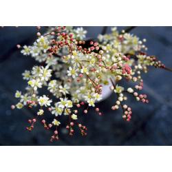 Graines de Filipendula vulgaris