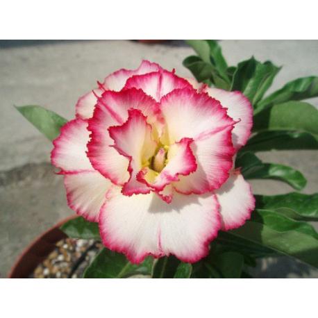 Graines de Adenium Rose Princesse