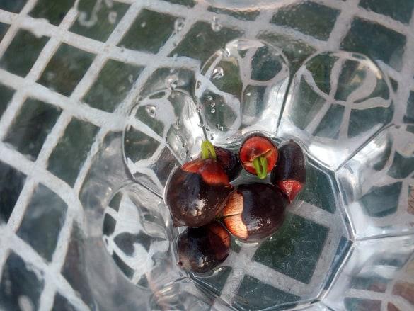 Les graines sont scarifiées, elle sont mises dans l'eau chaude